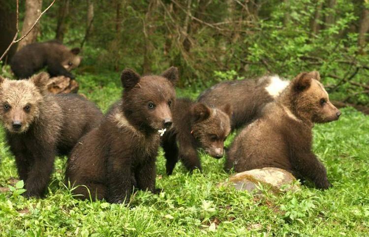 Семья за 20 лет спасла более 200 медвежат
