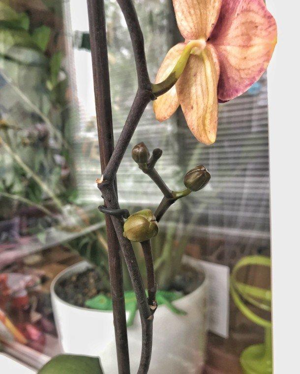 Как достигнуть буйного цветения орхидеи в домашних условиях?