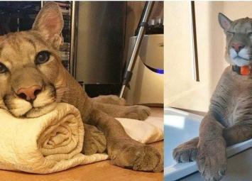 Семья спасла больного малыша пумы из зоопарка, теперь это их любимый котик