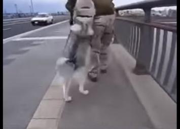 Хаски устал идти и хочет на ручки. Как поступит хозяин пса?