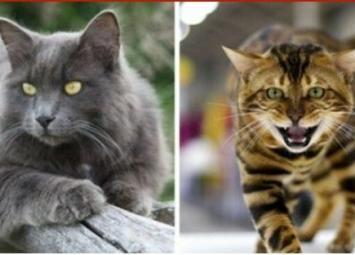 Редкие породы домашних кошек, которые поражают своей красотой