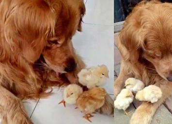 Ретривер усыновил цыплят и всячески о них заботится