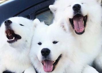 Если у вас плохой день, взгляните на снимки этих милых самоедов. Чистый позитив!