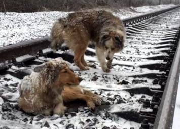 На протяжении двух суток пес не отходил от своей подруги, которая не могла встать с рельс из-за ран