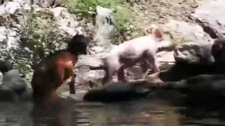 Неравнодушный медведь спас ворону, которая тонула в пруду