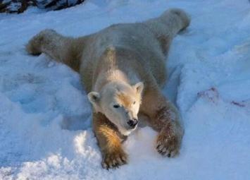 Белые медведи впервые видят снег-их счастью нет конца