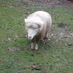 Беленькая овечка уверена что она собачка