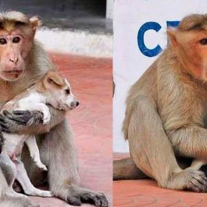 Еще одна обезьяна решила стать мамой чужому малышу