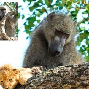 """Бабуин стал """"папой"""" для маленького львенка и почти воспроизвел сцену из знаменитого мультфильма"""